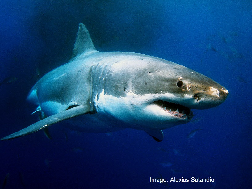 "RecFish SA  says ""No"" to Shark Cage Diving new locations proposal"