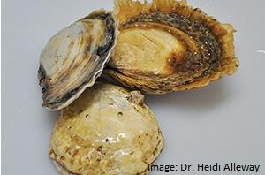 p27-sthaus_native-flat-oysters_heidi-alleway-dsc_0847
